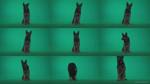 German-Shepherd-dog-f1-Green-Screen-Video-Footage Green Screen Stock