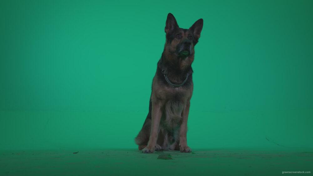 vj video background German-Shepherd-dog-f1-Green-Screen-Video-Footage_003