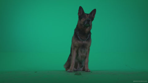 vj video background German-Shepherd-dog-f1-Green-Screen-Video-Footage_003