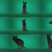 German-Shepherd-dog-f2-Green-Screen-Video-Footage Green Screen Stock