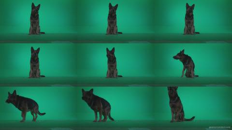German-Shepherd-dog-f2-Green-Screen-Video-Footage Green Screen Stock