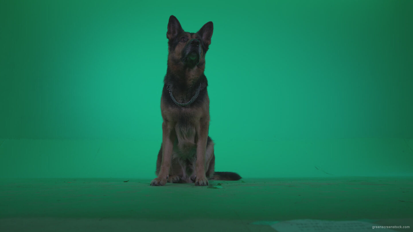 vj video background German-Shepherd-dog-f2-Green-Screen-Video-Footage_003