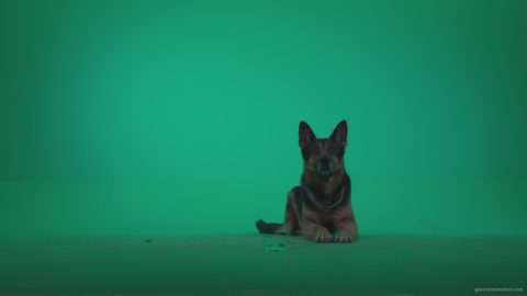 vj video background German-Shepherd-dog-f3-Green-Screen-Video-Footage_003