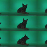 German-Shepherd-dog-f4-Green-Screen-Video-Footage Green Screen Stock