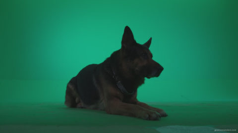 vj video background German-Shepherd-dog-f4-Green-Screen-Video-Footage_003