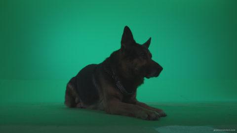 vj video background German-Shepherd-dog-f4-Green-Screen-Video-Footage_003