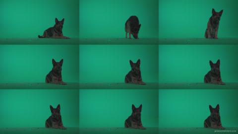German-Shepherd-dog-f5-Green-Screen-Video-Footage Green Screen Stock