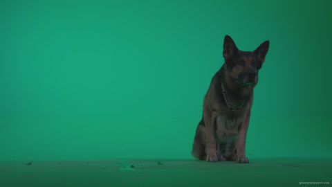 vj video background German-Shepherd-dog-f5-Green-Screen-Video-Footage_003