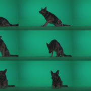 German-Shepherd-dog-f6-Green-Screen-Video-Footage Green Screen Stock