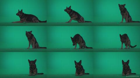 German-Shepherd-dog-f6-Green-Screen-Video-Footage Green Screen Stock