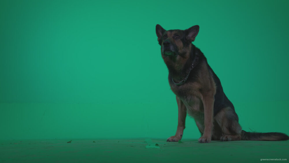 vj video background German-Shepherd-dog-f6-Green-Screen-Video-Footage_003