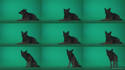 German-Shepherd-dog-f7-Green-Screen-Video-Footage Green Screen Stock