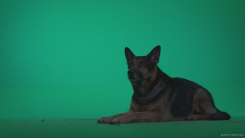 vj video background German-Shepherd-dog-f7-Green-Screen-Video-Footage_003
