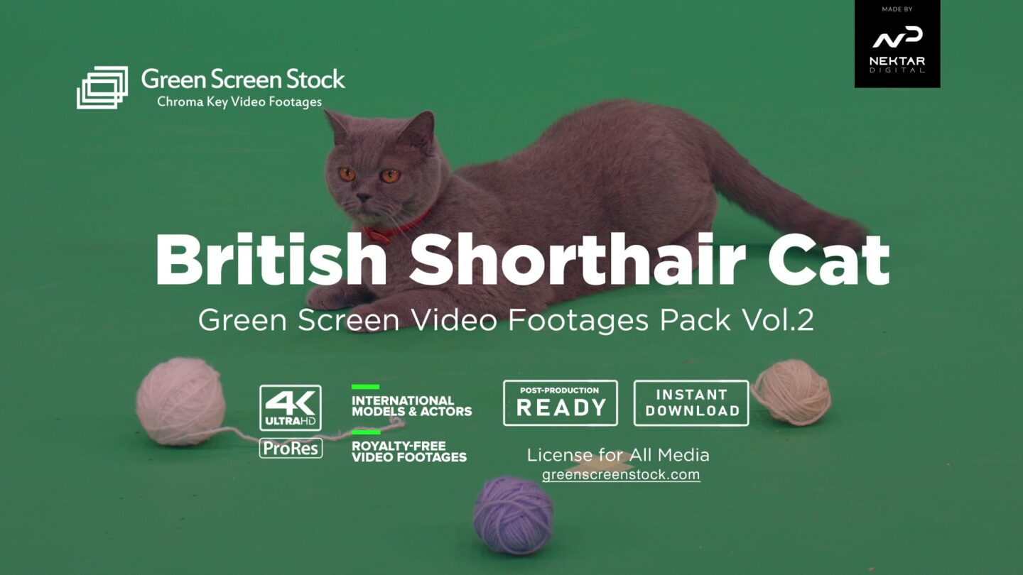 British Shorthair Cat – Green Screen Video Footage