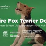 Wire Fox Terrier Dog – Green Screen Video Footage