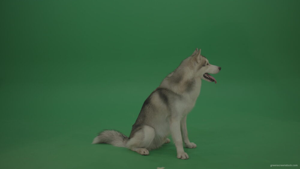 vj video background Beautiful_Grey_And_White_Huskie_Dog_Sitting_Still_Then_Slowly_Walking_Away_On_Green_Screen_Chroma_Key_Wall_Background_003