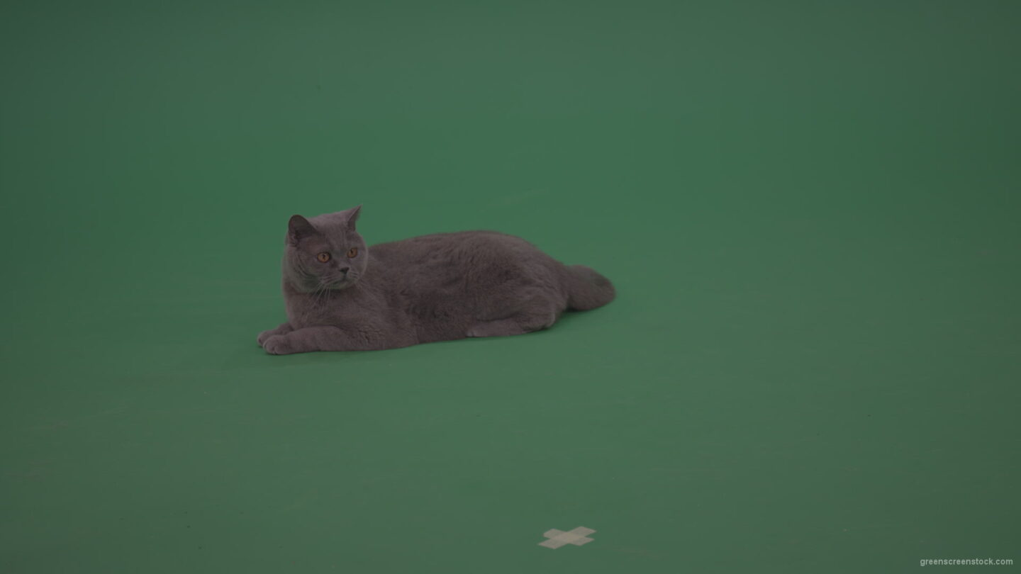 vj video background Big-Grey-British-Cat-Lying-On-The-Ground-Wagging-The-Tail-On-Green-Screen-Wall-Chroma-Key-Background_003