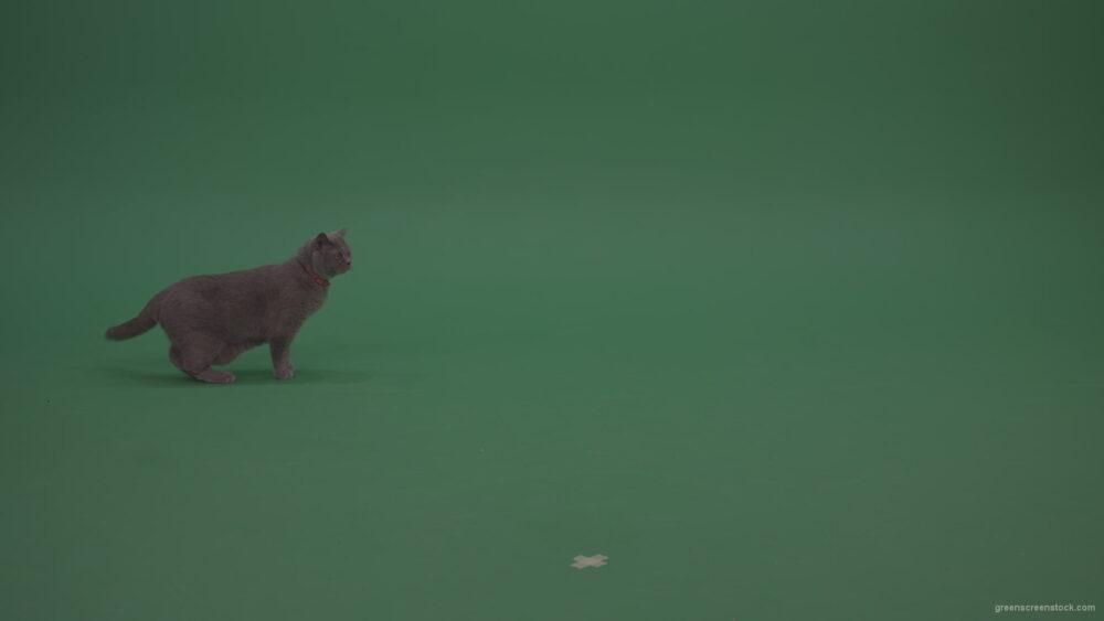 vj video background British-Cat-Crawling-Learning-Territory-Looking-Around-Then-Walking-Away-On-Green-Screen-Wall-Green-Screen-Background_003