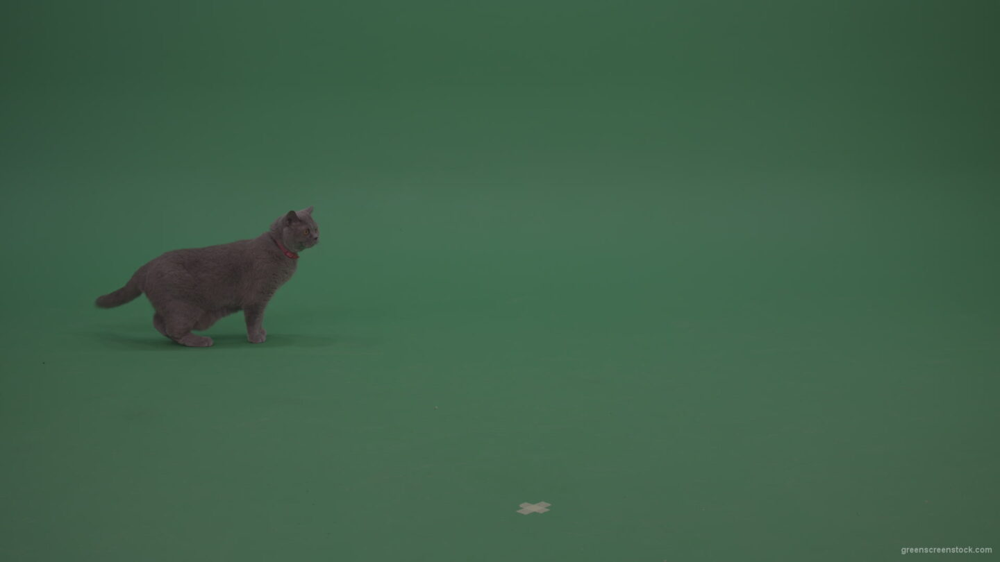 vj video background British-Cat-Crawling-Learning-Territory-Looking-Around-Then-Walking-Away-On-Green-Screen-Wall-Green-Screen-Background_003