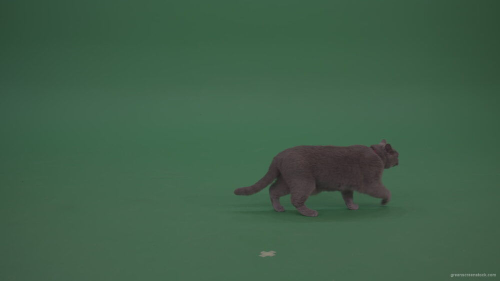 British-Cat-Looking-Around-Then-Slowly-Runs-Away-On-Green-Screen-Wall-Chroma-Key-Background_006 Green Screen Stock