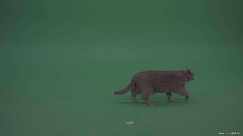British-Cat-Looking-Around-Then-Slowly-Runs-Away-On-Green-Screen-Wall-Chroma-Key-Background_006 Green Screen Stock