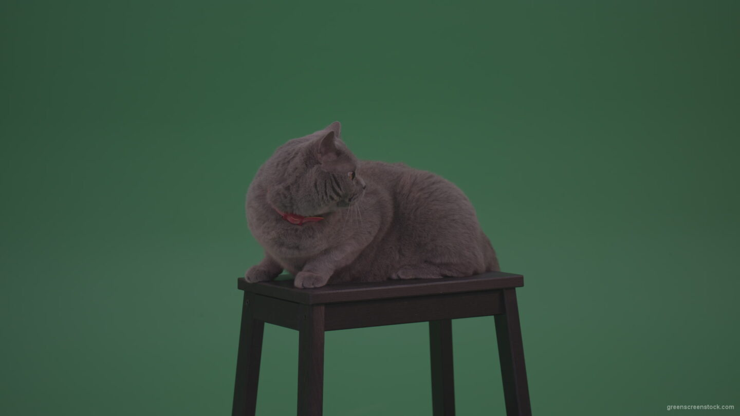 vj video background British-Gey-Cat-Sitting-On-Stool-Wagging-The-Tail-On_Green-Screen-Chroma-Key-Wall-Background_003