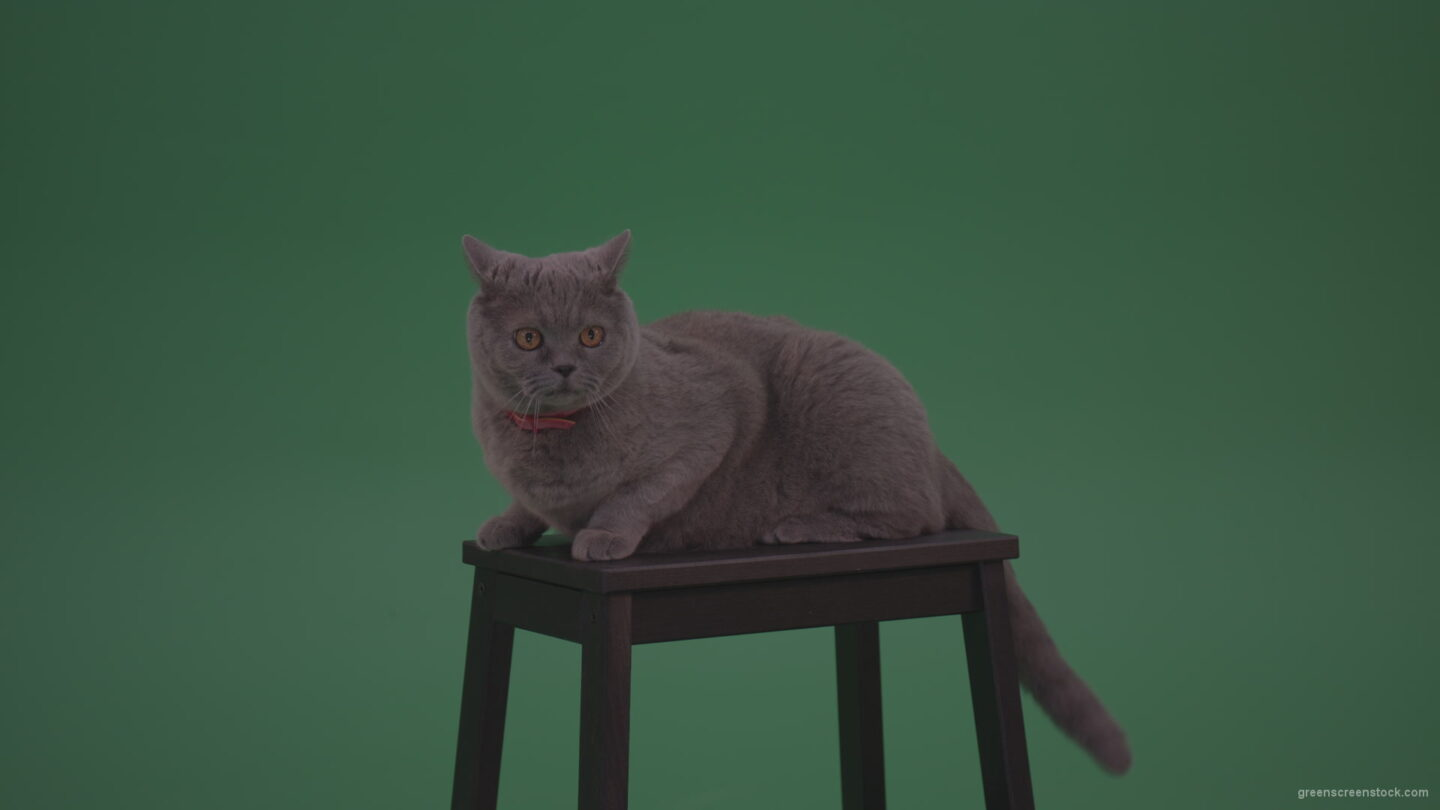 British-Gey-Cat-Sitting-On-Stool-Wagging-The-Tail-On_Green-Screen-Chroma-Key-Wall-Background_006 Green Screen Stock