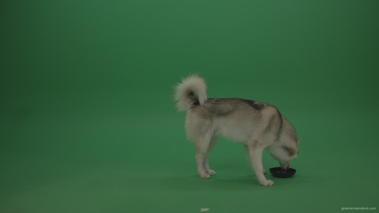 vj video background Grey_White_Huskie_Dog_Licking_Drinking_Water_From_003