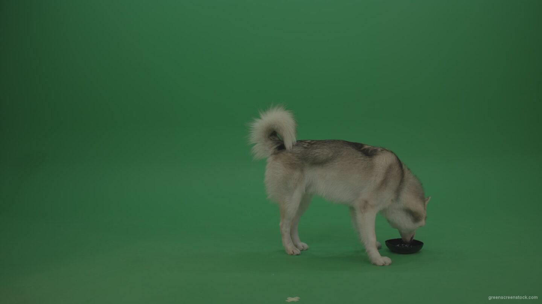 vj video background Grey_White_Huskie_Dog_Licking_Drinking_Water_From_003