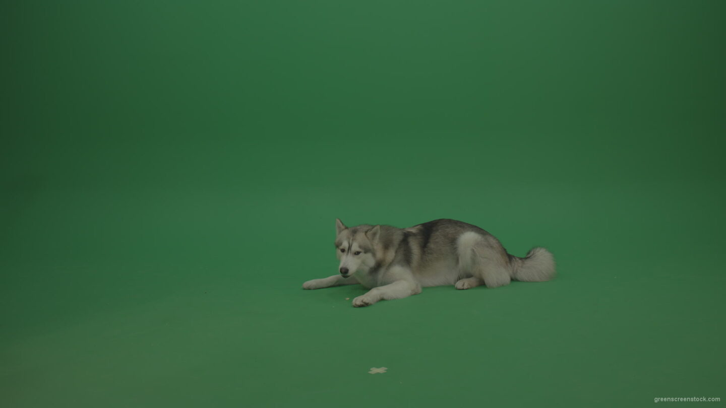 vj video background Grey_White_Huskie_Dog_Lying_On_The_Ground_Chewing_Coockie_Stands_Up_And_Walks_Away_Green_Screen_Wall_Background_003