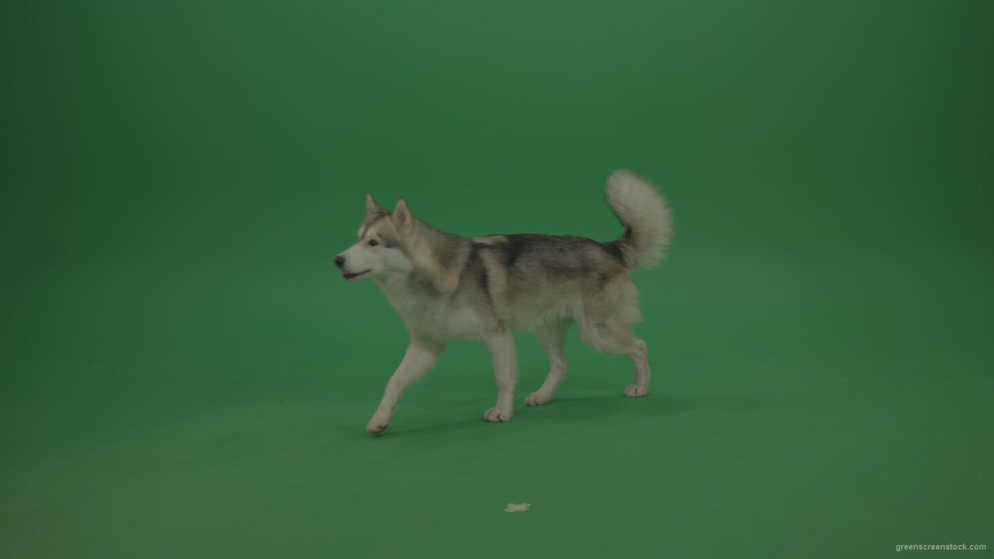 Grey_White_Huskie_Dog_Lying_On_The_Ground_Chewing_Coockie_Stands_Up_And_Walks_Away_Green_Screen_Wall_Background_007 Green Screen Stock