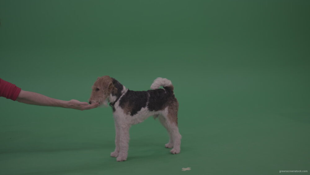 Wire-Fox-Terrier-Eats-From-Man-Thin-Arm-On-Green-Screen-Video_007 Green Screen Stock