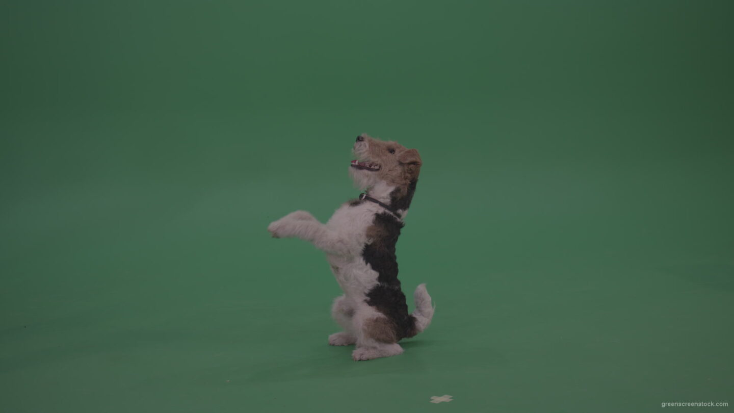 Wire-Fox-Terrier-Is-Serving-To-Get-Somethng-Tasty-From-His-Friend-Person-On-Green-Screen-Video_007 Green Screen Stock