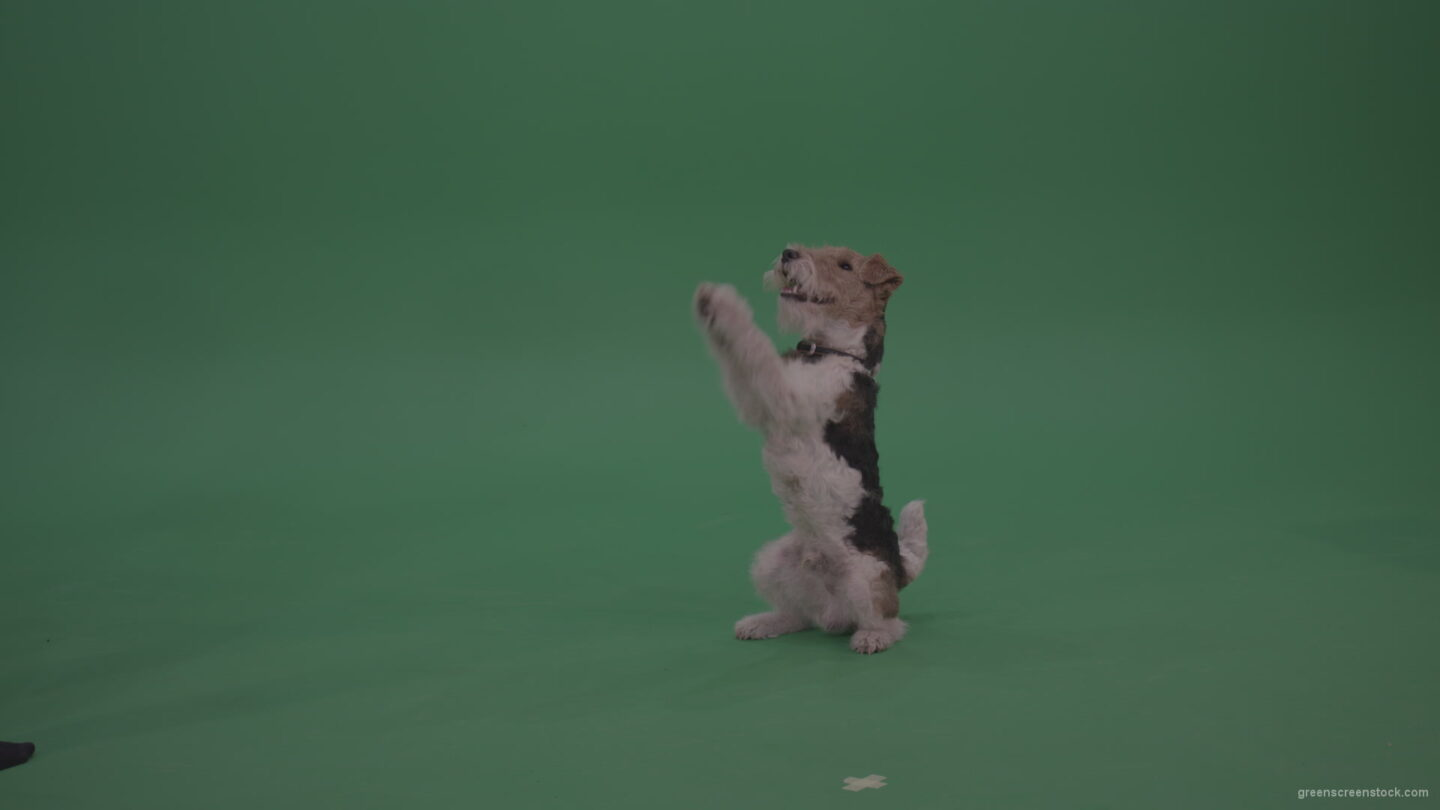 vj video background Wire-Fox-Terrier-Standing-On-Back-Feet-Ann-Serving-Then-Lies-Down-On-The-Ground-On-Green-Screen-Wall-Background_003