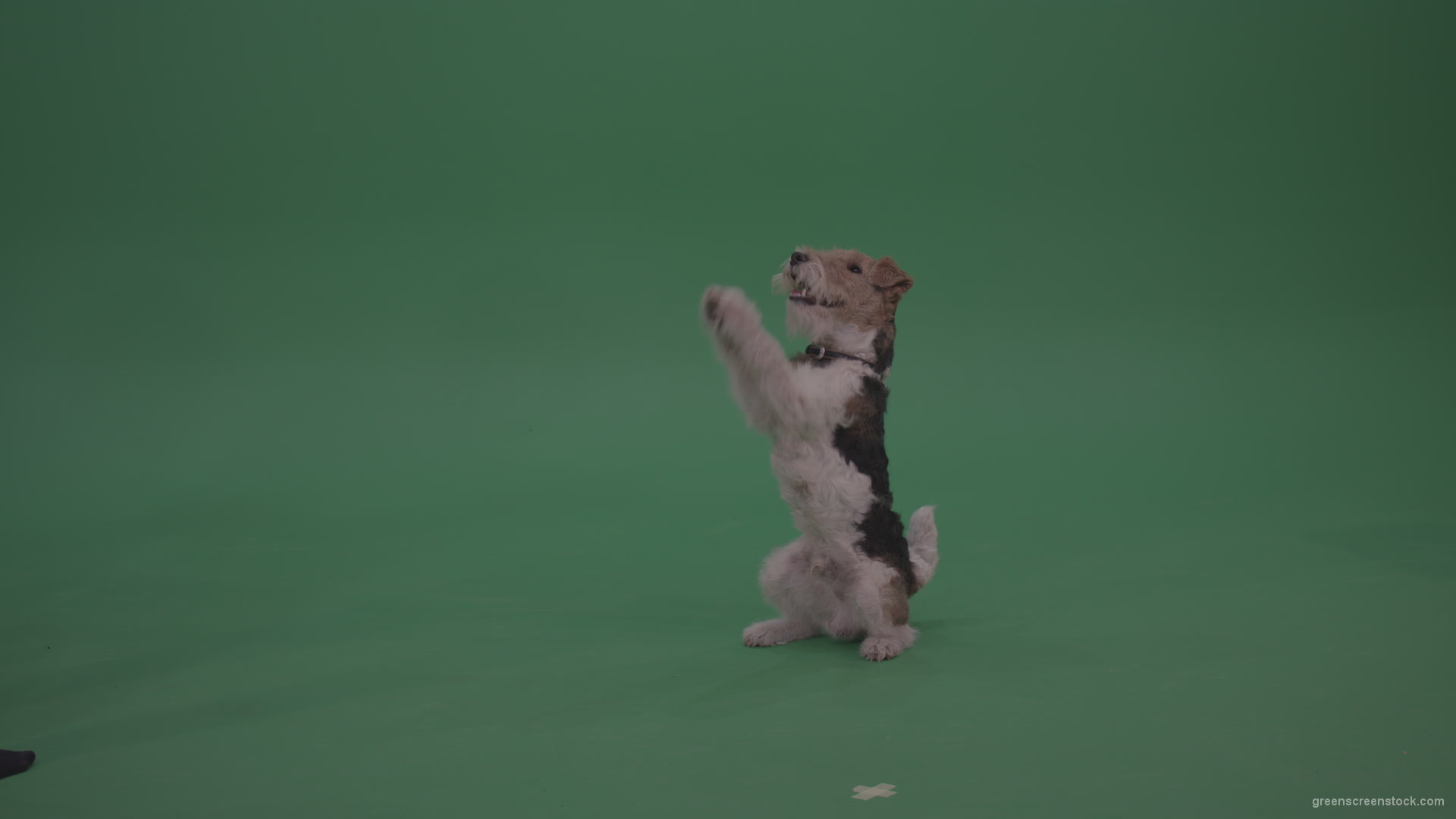 Wire Fox Terrier standing on back feet and serving food