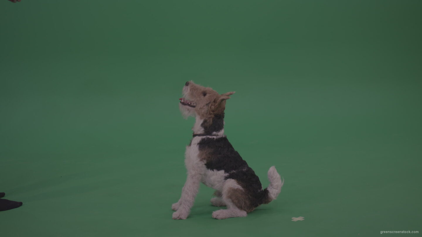 Wire-Fox-Terrier-Standing-On-Back-Feet-Barking-Serving-And-Jumnping-To-Get-Cookie-From-His-Owner-From-Green-Screen-Wall-Chroma-Key-Background_001 Green Screen Stock