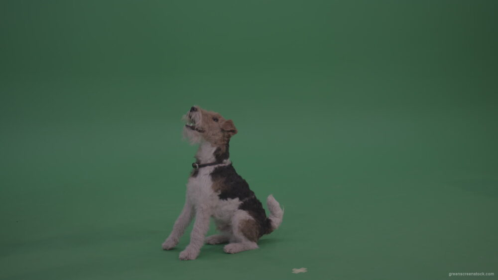 Wire-Fox-Terries-Sitting-Still-Then-Jumps-And-Catches-Cookie-From-Its-Master-On-Green-Screen-Wall-Background_007 Green Screen Stock