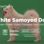 White-Samoyed-Dog-Screen Stock
