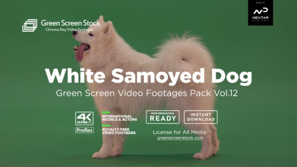 White-Samoyed-Dog-Screen Stock