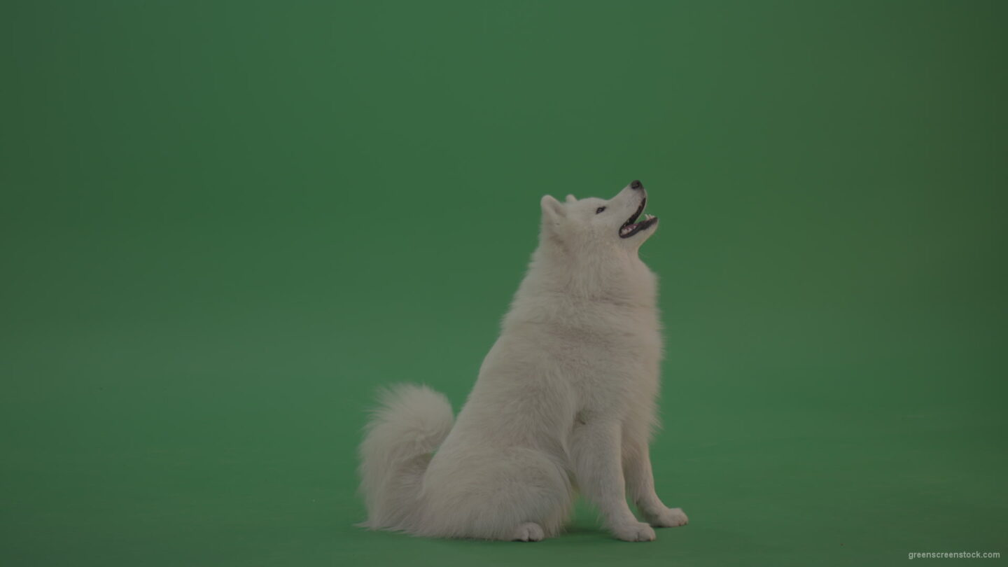 White-Samoyed-Dog-Green-Screen-Stock-11_004 Green Screen Stock