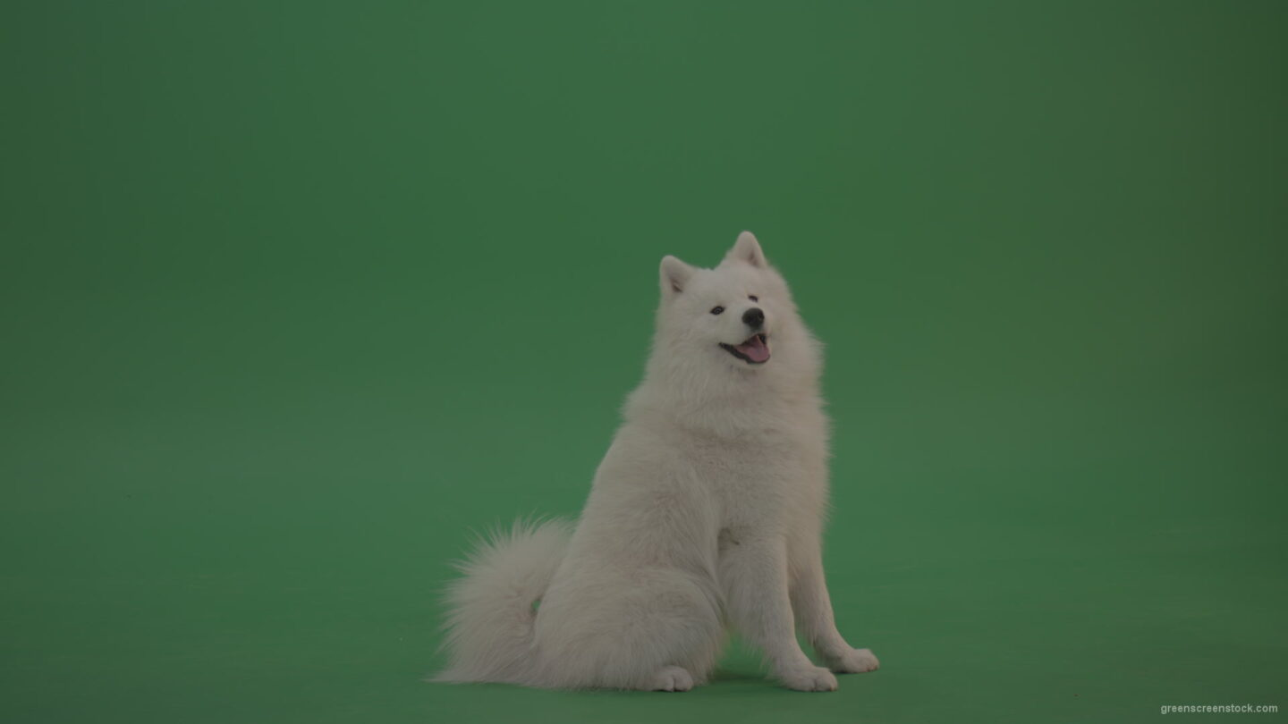 White-Samoyed-Dog-Green-Screen-Stock-11_006 Green Screen Stock