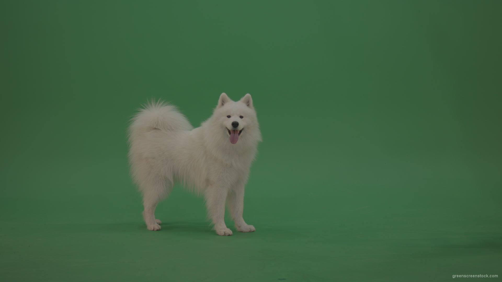 Funny White Samoyed Dog on green background – 4K Green Screen Stock Video  Footage