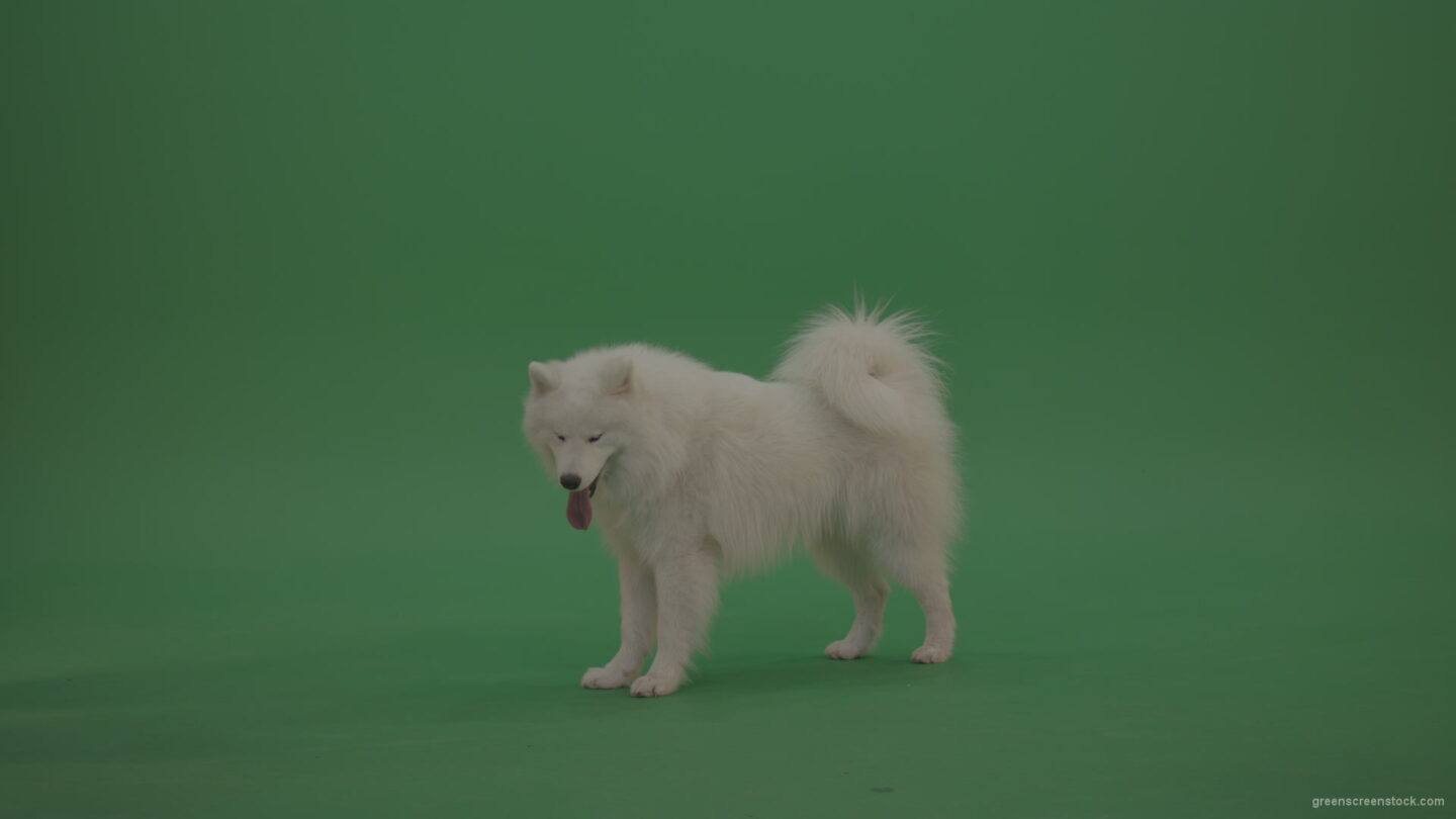 White-Samoyed-Dog-Green-Screen-Stock-1_007 Green Screen Stock