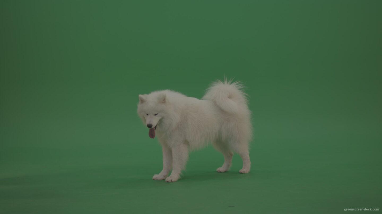 White-Samoyed-Dog-Green-Screen-Stock-1_007 Green Screen Stock