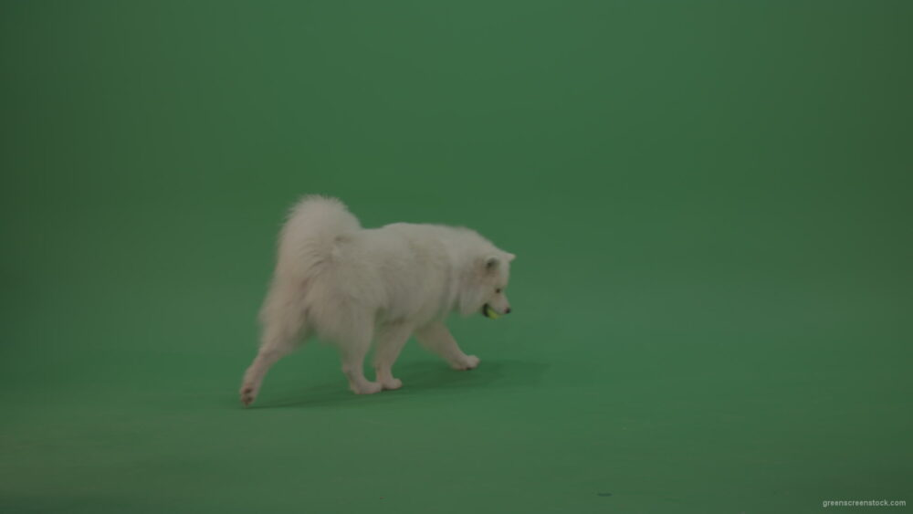 White-Samoyed-Dog-Green-Screen-Stock-4_008 Green Screen Stock