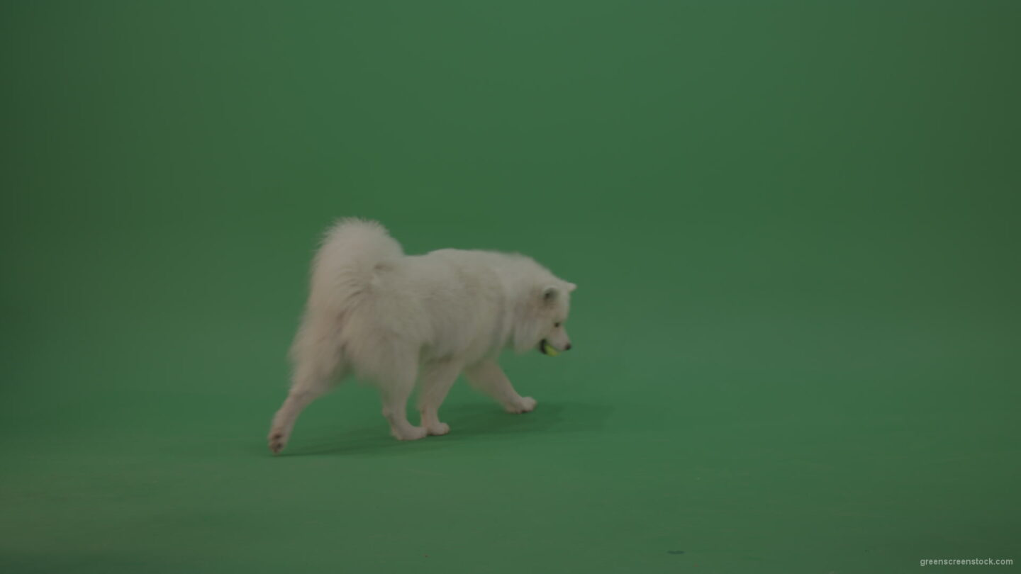 White-Samoyed-Dog-Green-Screen-Stock-4_008 Green Screen Stock