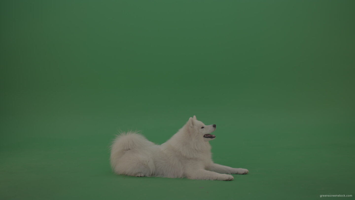 White-Samoyed-Dog-Green-Screen-Stock-5_007 Green Screen Stock