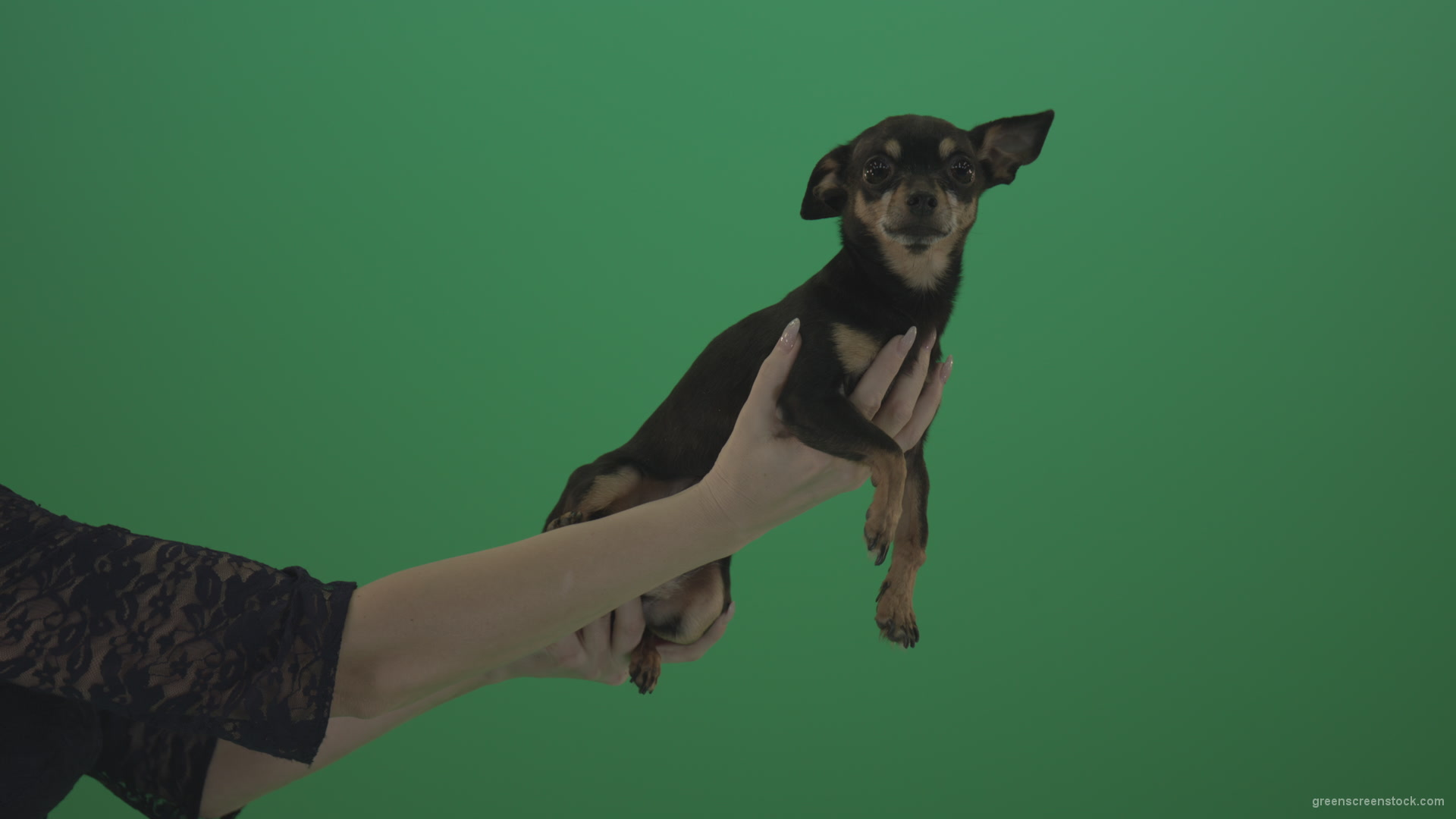 Black funny Chihuahua small dog in female hands – 4K Green Screen Stock  Video Footage