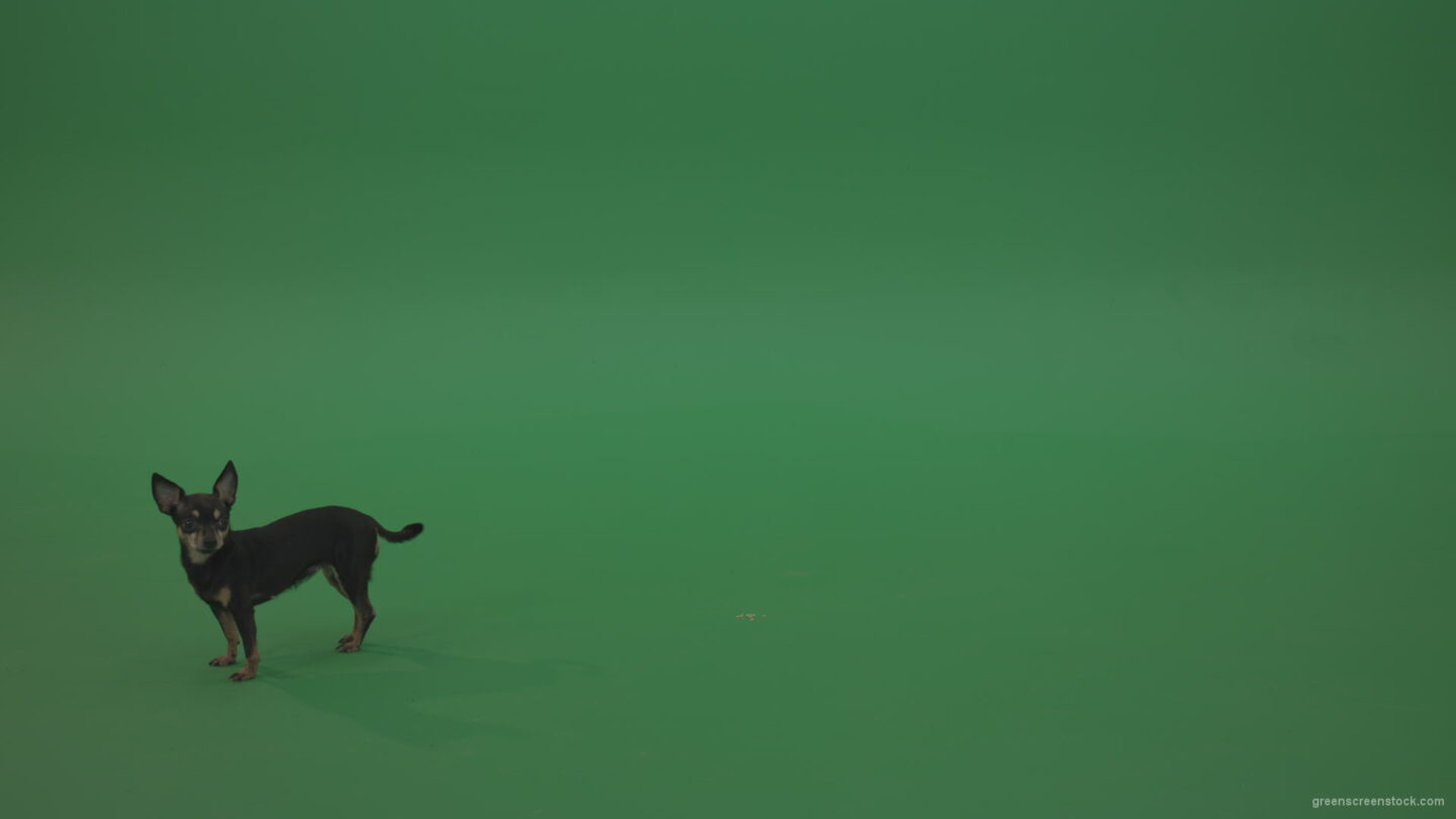 vj video background Chihuahua-small-puppy-dog-barking-in-green-screen-studio_003