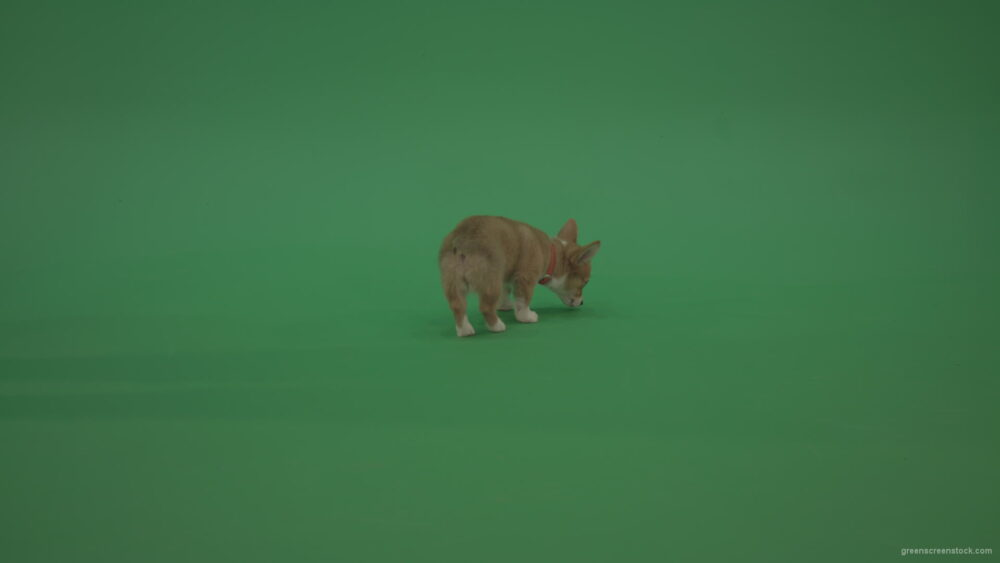 vj video background Green-Screen-Animal-Pembroke-Welsh-Corgi-Dog-Korgi-searching-a-food-isolated-on-green-background_003